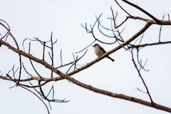 Un piccolo uccello sui rami senza vita Fotografie Stock Libere da Diritti