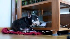 Un piccolo vecchio cane ? costantemente scortecciare, sedentesi su un guinzaglio nell'appartamento vicino