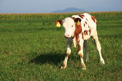 Un piccolo vitello sul campo Fotografia Stock Libera da Diritti