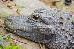 Picutre del primo piano di un alligatore cinese Fotografia Stock Libera da Diritti