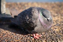 Un pidgeon común de la roca, durmiendo en un día de primavera temprano frío foto de archivo