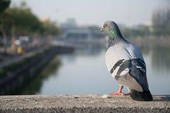 Un pigeon Photographie stock