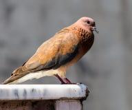 Un pigeon Photos libres de droits