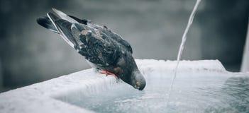 Un pigeon assoiffé boit l'eau sur la fontaine de ville Photographie stock libre de droits