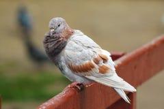 Un pigeon cacked se dore au soleil photo libre de droits