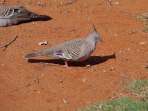 Un pigeon crêté photos libres de droits