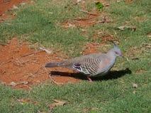 Un pigeon crêté image stock