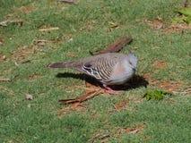 Un pigeon crêté photographie stock