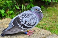 Un pigeon d'emballage à autodirecteur, Columbidae Images libres de droits