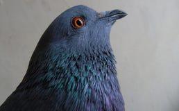 Un pigeon domestique Image stock