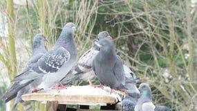 Un pigeon en hiver, arbres de fond Images libres de droits