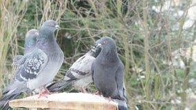 Un pigeon en hiver, arbres de fond Image stock