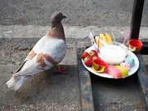 Un pigeon et un aliment de sacrifice photo stock