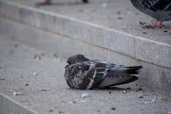 Un pigeon malade hérissé pelucheux photographie stock