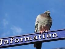 Un pigeon. Oxford. Photos stock