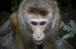 Un pilar del macaque Foto de archivo libre de regalías