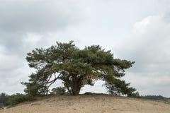 Un pin écossais solitaire Images stock