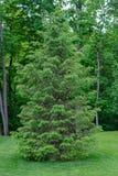 Un pin blanc solitaire se repose sur une loi fraîchement fauchée et manicured image stock