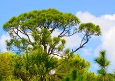 Un pin chez Cedar Point Environmental Reserve, le comté de Sarasota la Floride images stock