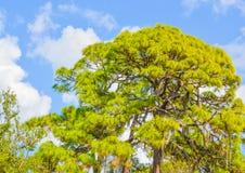 Un pin chez Cedar Point Environmental Reserve, le comté de Sarasota la Floride images libres de droits