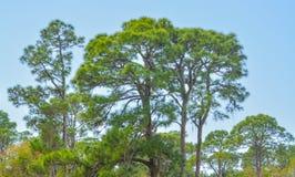 Un pin chez Cedar Point Environmental Reserve, le comté de Sarasota la Floride photo stock