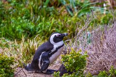 Un pingüino africano que se coloca en la arena fotos de archivo libres de regalías