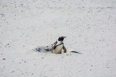 Un pingüino africano, también conocido como pingüino de zopenco Imágenes de archivo libres de regalías