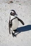 Un pingüino africano, también conocido como pingüino de zopenco Imagen de archivo