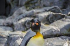 Un pingüino curioso ve al fotógrafo Fotos de archivo libres de regalías