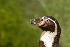 Un pingüino de Humboldt Imagenes de archivo