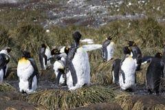 Un pingüino de rey joven muda y quita su plumaje viejo con su pico foto de archivo libre de regalías