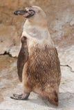 Un pingüino del bebé Imágenes de archivo libres de regalías