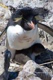 Un pingüino meridional de Rockhopper Foto de archivo libre de regalías