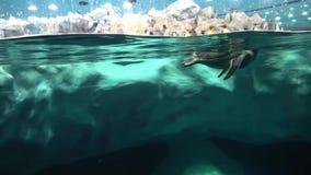 Un pingüino nadaba en el tanque de agua del pingüino del parque zoológico almacen de video