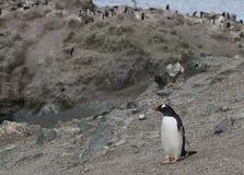 Un pingüino solitario contra el fondo de la colonia Imágenes de archivo libres de regalías
