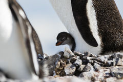 Un pingouin et un poussin de Gentoo Photographie stock libre de droits