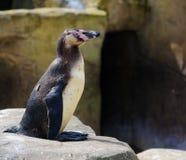 Un pingouin reposé sur une roche Photographie stock