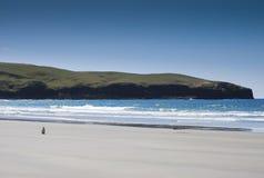 Un pingouin seul sur la plage à Dunedin Photographie stock