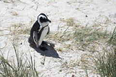 Un pinguino africano solo Fotografia Stock