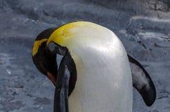 Un pinguino comune di sonno Fotografia Stock Libera da Diritti