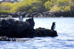 Un pinguino del Galapagos Fotografia Stock