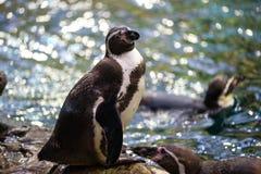 Un pinguino sorridente nello zoo in Tenerife, Spagna Fotografie Stock Libere da Diritti