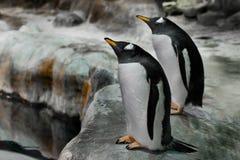 Un pinguino sta con il suo becco fino alla cima pinguino subartico sveglio grasso Primo piano fotografie stock