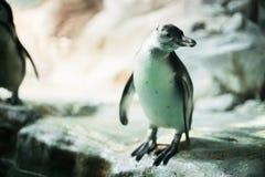 Un pinguino in uno zoo che fissa alla macchina fotografica con altri pinguini fotografia stock libera da diritti