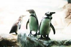 Un pinguino in uno zoo che fissa alla macchina fotografica con altri pinguini fotografie stock