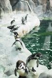 Un pinguino in uno zoo che fissa alla macchina fotografica con altri pinguini fotografia stock