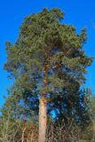 Un pino alto con il fondo del cielo nel sempreverde della foresta fotografie stock