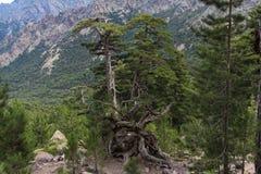 Un pino con las raíces extrañas Imagen de archivo