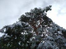 un pino marítimo por completo de la nieve y del hielo fotografía de archivo