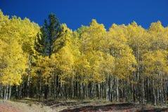 Un pino nelle tremule - come levarsi in piedi fuori nell'Ass.Comm. Fotografia Stock